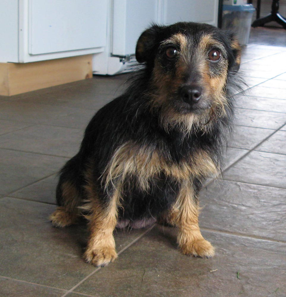 Aislinge Bray Terrier S Aine Is A Small Female Black And Tan