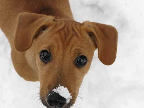 Aislinge Bray - Jack Russell Terrier - Russell Terrier ...