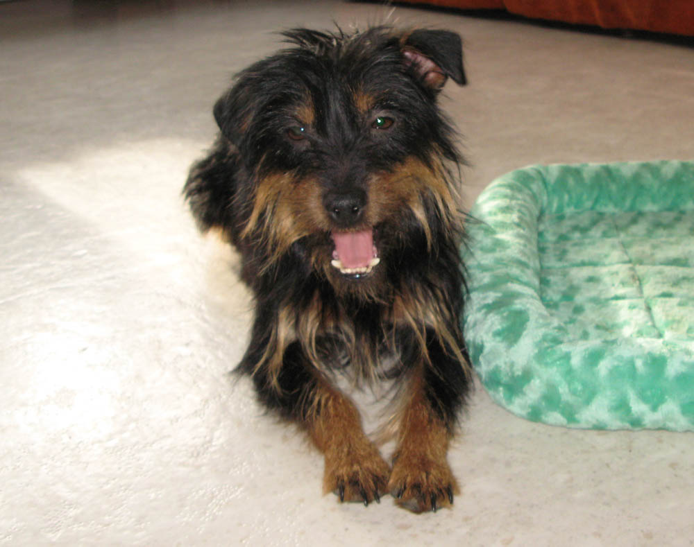 Aislinge Bray Terrier S Tullia Is A Beautiful Black And Tan